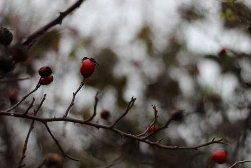 Rose Hips Autumn Red Brown Sad Hip Bush Plant