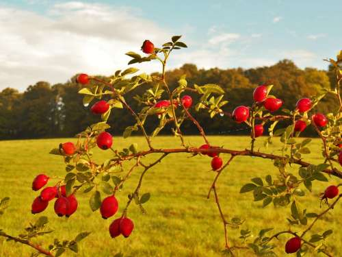 Rose Hips Autumn Meadow