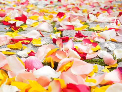 Rose Petals Petals Wedding Red Love Scatter Roses