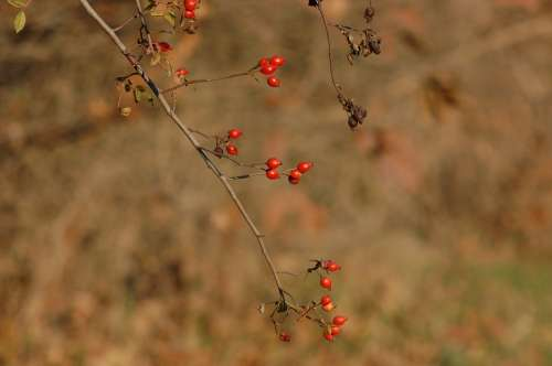 Rosehip Berry Forest Nature