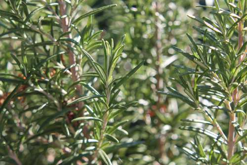 Rosemary Plant Herbs Spices Green Fresh Nature
