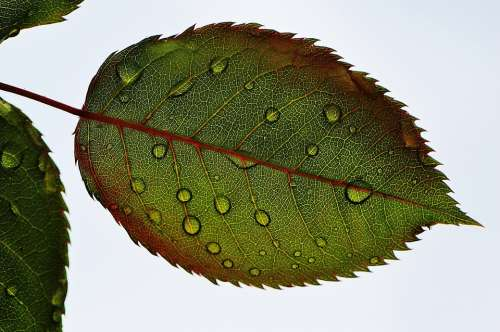Rosenblatt Leaf Wasserperlen Wet Drip Macro
