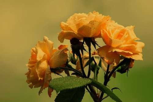 Roses Bloom Yellow Orange Flower Wet Floral
