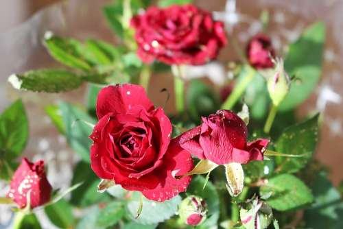 Roses Flower Blossom Bloom Red Roses Plant