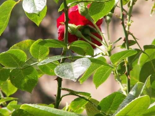 Roses Flowers Nature Rosebush Thorns