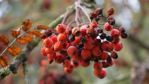Rowan Autumn Rowanberries Ash Orange Mountain Ash