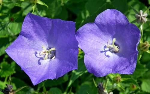 Rozwar Flowers Closeup Nature Garden Blue