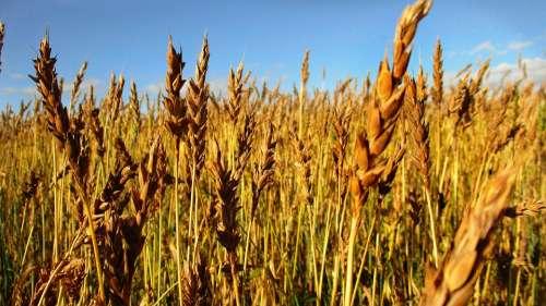 Rye Wheat Kolos Spikes Sky Field Arable Land