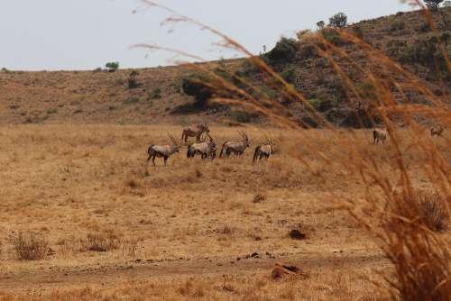 Safari Africa Nature Oryx Herbivore Animal