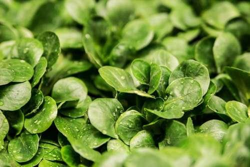 Salad Lamb'S Lettuce Lettuce Leaves Green Fresh