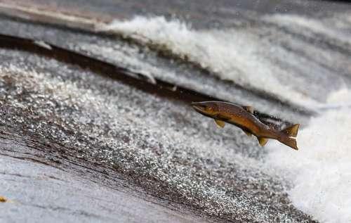 Salmon Fish Run Jump Upstream