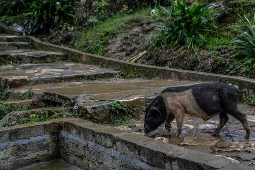 Sapa Natural Animal Mountainous Pig Normal Life