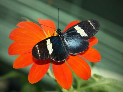 Sara Longwing Butterfly Insect Heliconius Sara