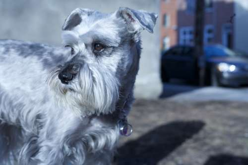 Schnauzer Dog Pet Animal Adorable Small Canine
