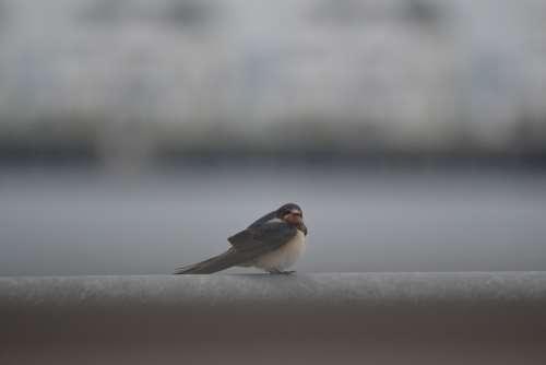 Schwalbe Birds Nature Animal World Migratory Bird
