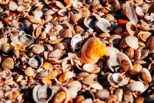 Sea Beach Orange Shore Pearl Seashells Seashell