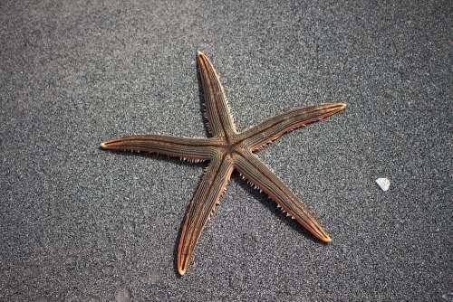 Sea Star Beach Marine Fauna Star