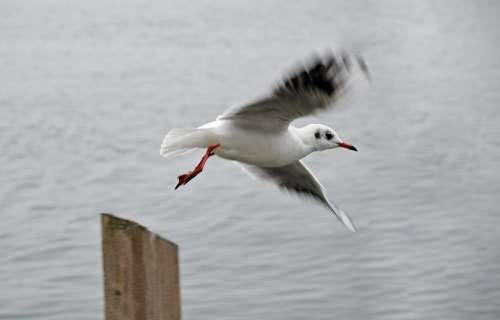 Seagull Flight Dynamics Lake Wing