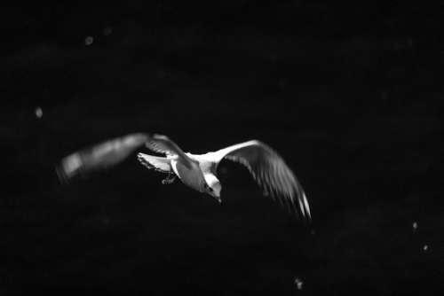 Seagull Bird Bosphorus Sea Istanbul Flight Flying