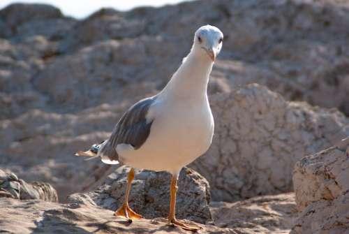 Seagull Close Up Animal Nature Water Bird Sea