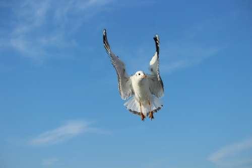 Seagull Bird Sky Nobility Flying Animal Nature