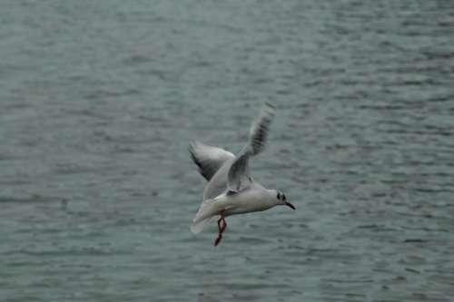 Seagull Birds Lake Léman Fly Bread Feed