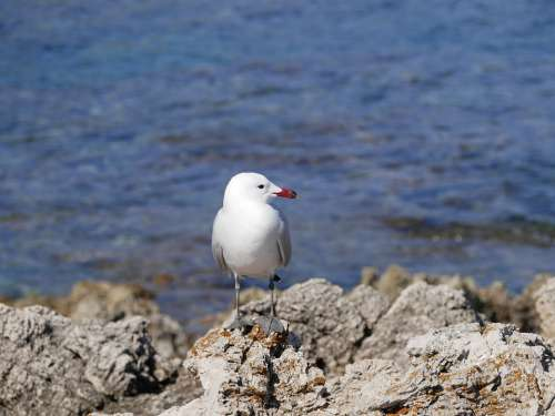 Seagull Sea Mediterranean Bird Animal Nature