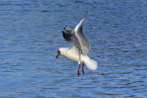 Seagull Gull Bird Sea Bird Animal Flight Hover