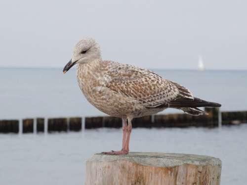 Seagull Bird Water Bird Sea Plumage Feather