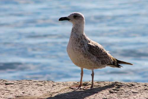 Seagull Sea Water Bird