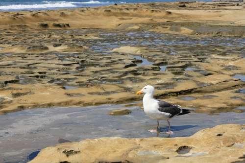 Seagull Encinitas Tidal Pool Bird Ocean Pacific