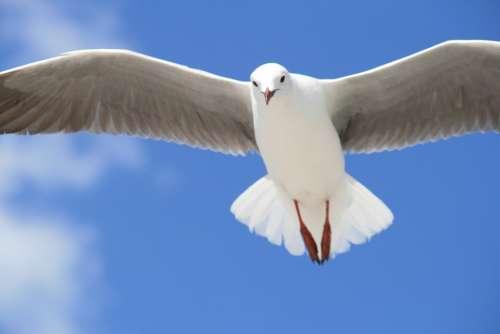 Seagull Gull Animal White Sky Bird Wildlife Fly
