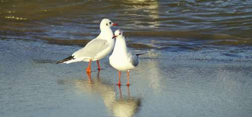 Seagulls Beach Coast Landscape Water Birds