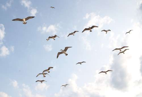 Seagulls Flight Birds Sky Freedom Nature Wings