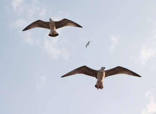Seagulls Flight Birds Sky Freedom Nature Wings