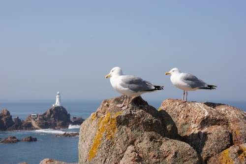Seagulls Rocks Birds