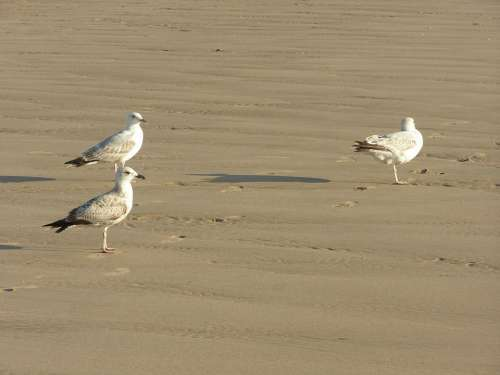 Seagulls Birds Beach Water Travel Ocean Animal