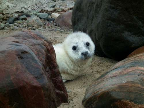 Seal Seal Puppy Puppy Animal Wildlife Mammal