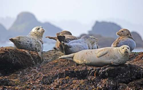 Seals Resting Rock Ocean Wildlife Water Mammal