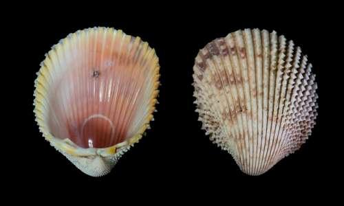 Seashell Trachycardium Isocardia Prickly Cockle