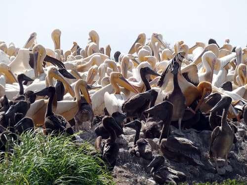 Senegal Pelicans Sanctuary Nursery Breeding Nests