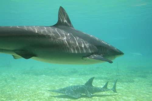 Sharks Underwater Aquatic Species
