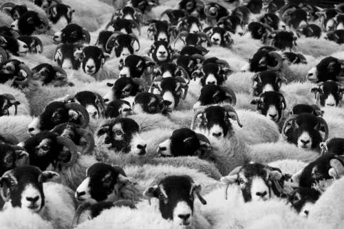Sheep Agriculture Animals Countryside Crowd Farm