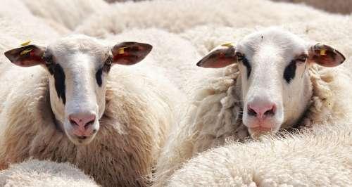Sheep Flock Of Sheep Animals Wool Flock Pasture