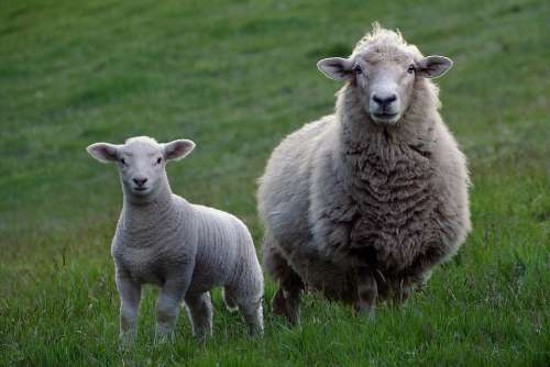 Sheep Agriculture Livestock Lamb Wool Rural
