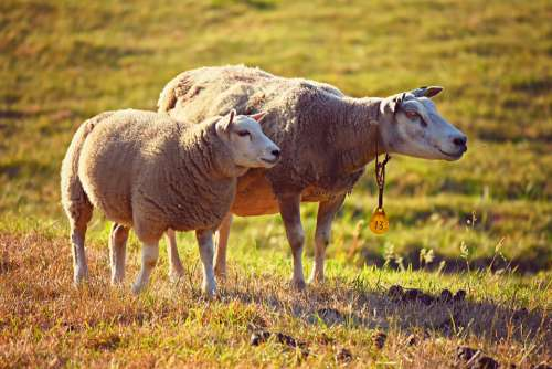 Sheep Animal Mammal Wool Ruminant Even-Toed Two