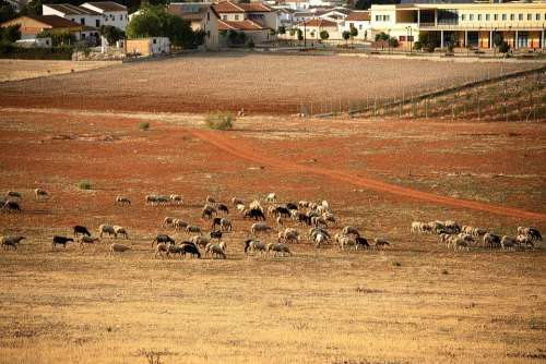Sheep Sheepfold Farm Wool Animal Mammals