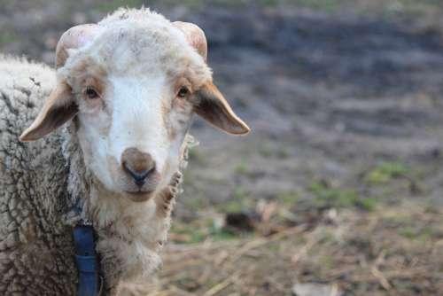 Sheep Lovely Sweet Wool White