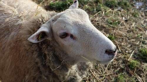 Sheep Nature Rheine Hovesaat Hay Grass