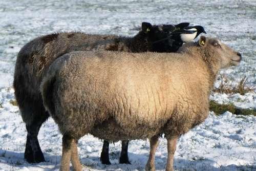 Sheep Magpie Snow Cold Winter Pasture Coat Peck